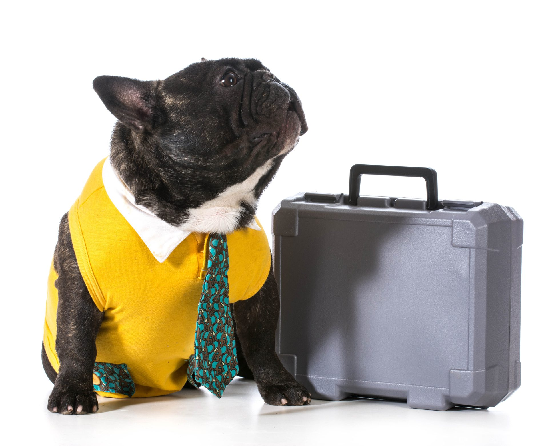 working dog - french bulldog with silly expression sitting beside briefcase