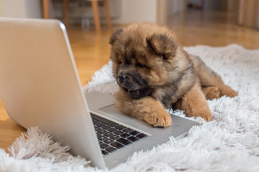 chow puppy with laptop
