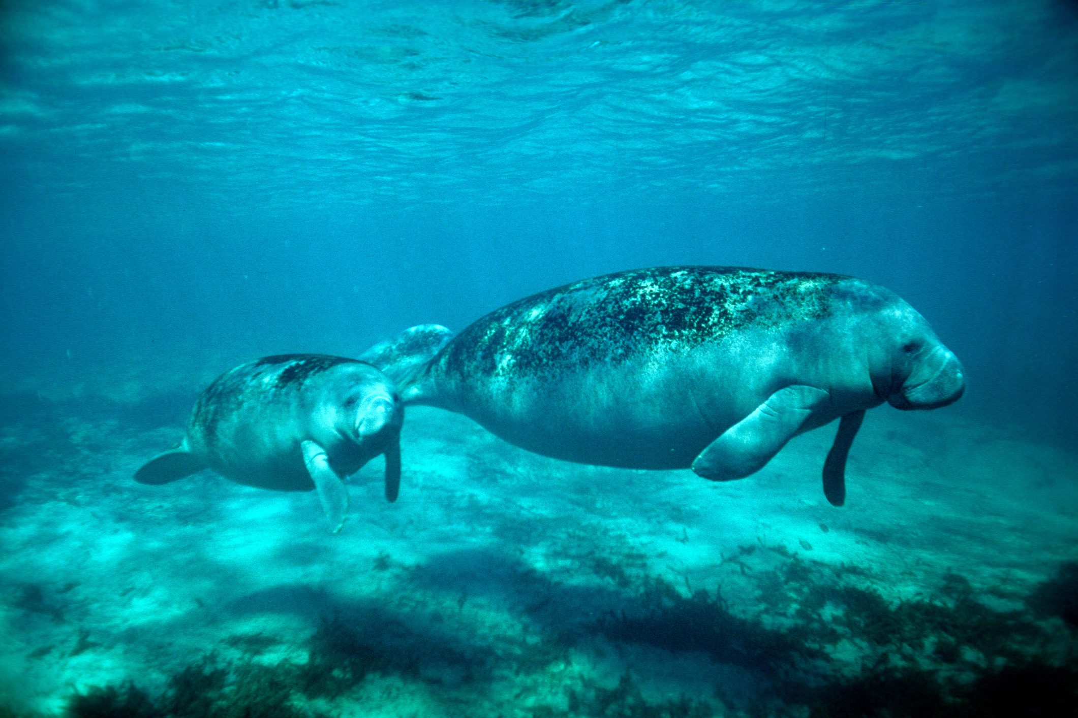 Florida Manatees swimming
